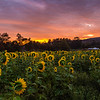 Sunrise on a Sunflower Field