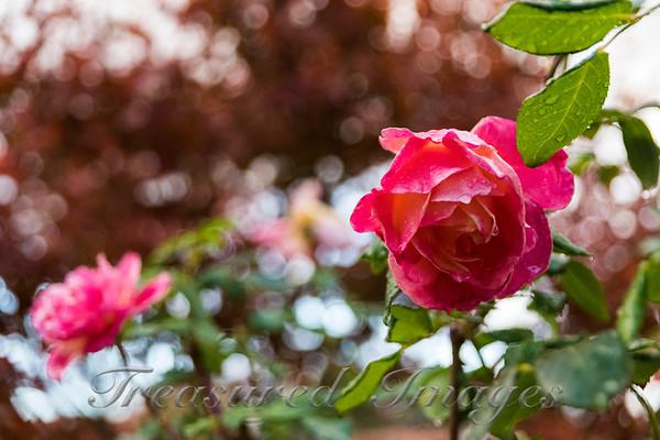 Rose Bokeh_DSC0019