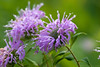 Another cluster of beebalm.