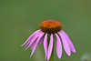 A narrow-leaved purple coneflower in Rochester.