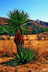 Yucca Meets Windmill