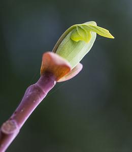Birth of a leaf
