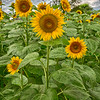 Grunge Sunflowers