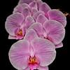Orchids VIII