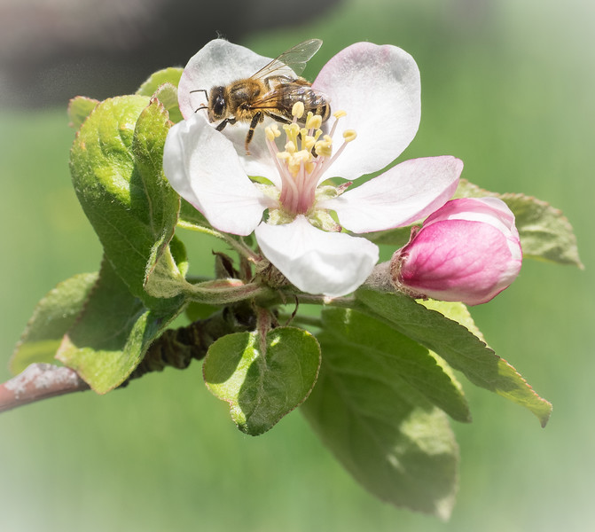 Apple Blossom Time #2