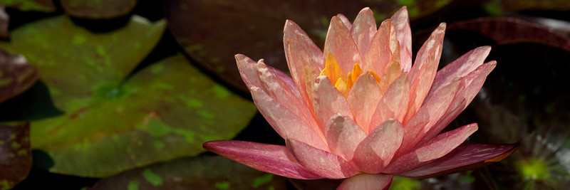 Water Lily _MG_6671