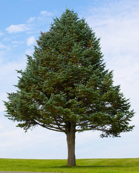 Quabbin tree