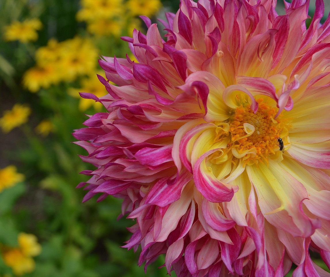 Magnificent Dahlia