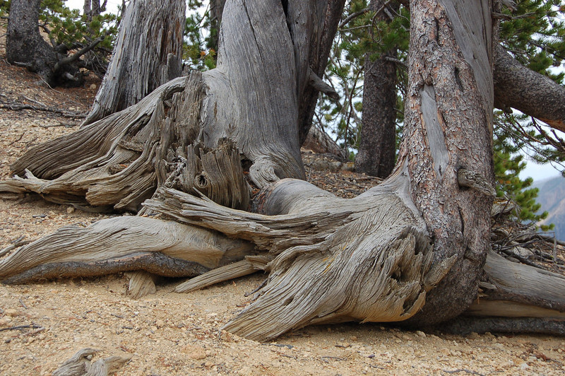 37 - Tree Stumps, Yellowstone