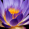 Water Lily_MG_6753 (6x18)