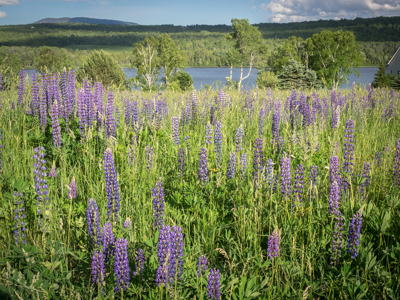 Lupines overlooking Moosehead Lake