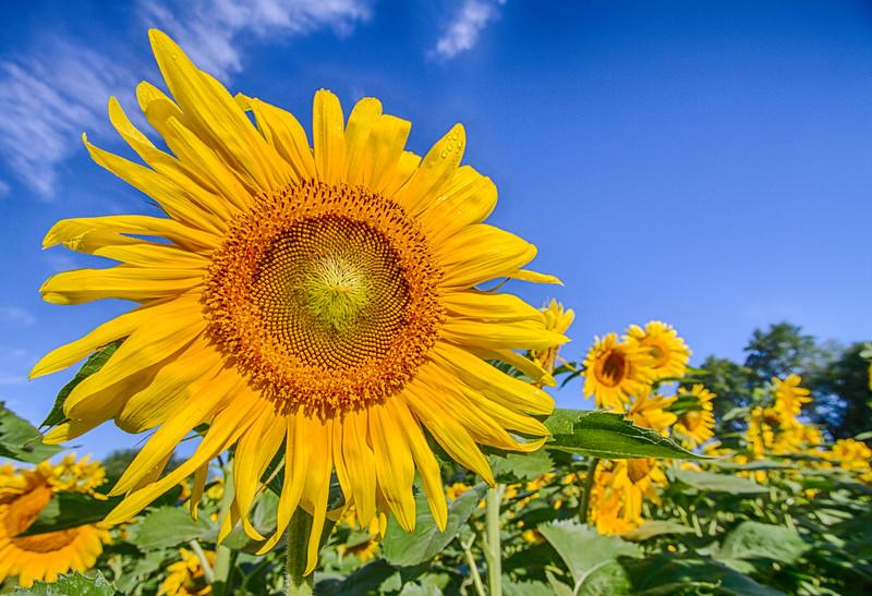 Sunflower in shock