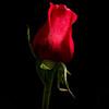 Rose Bottle