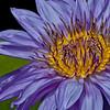 Water Lily _MG_6961b