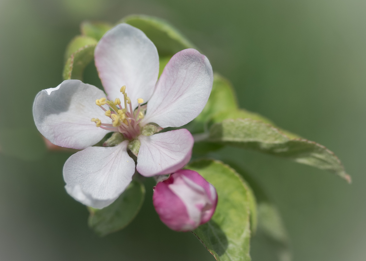 Apple Blossom Time #1