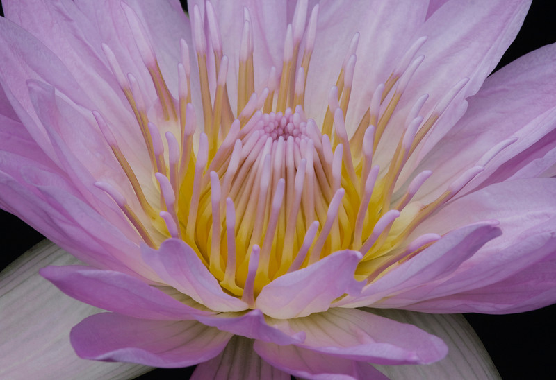 Water Lily _MG_3359