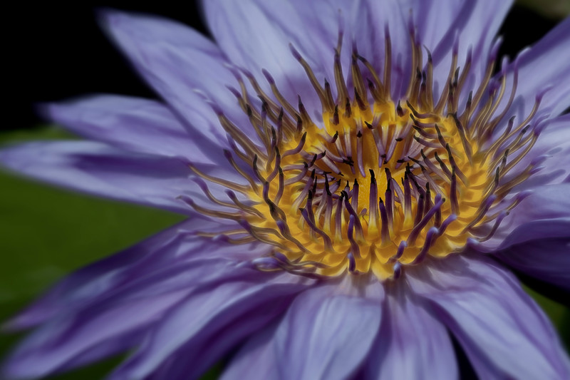 Water Lily _MG_6961c