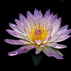 Water Lily _MG_6579