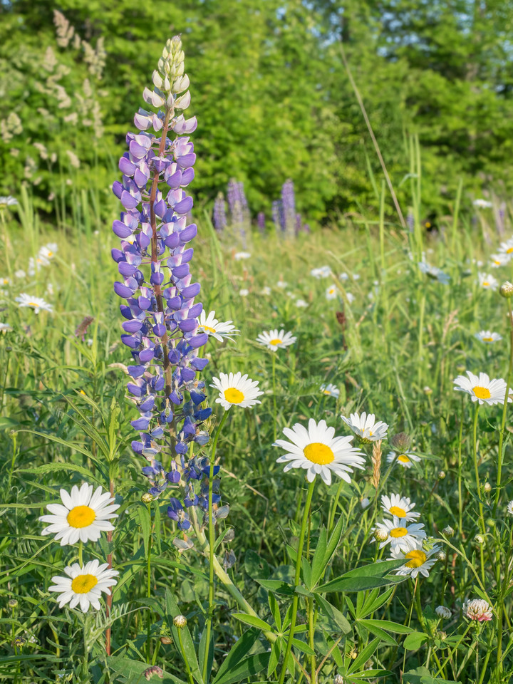 Lupine and Daisies