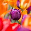 Tulip in a crowd