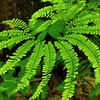 Maidenhair Fern, Wayan Bald Mountain, NC