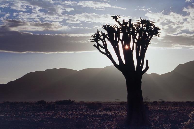 Aloe Tree Silhouette