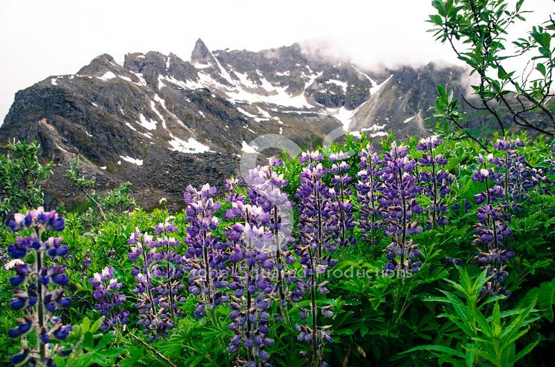 Alpine Lupine