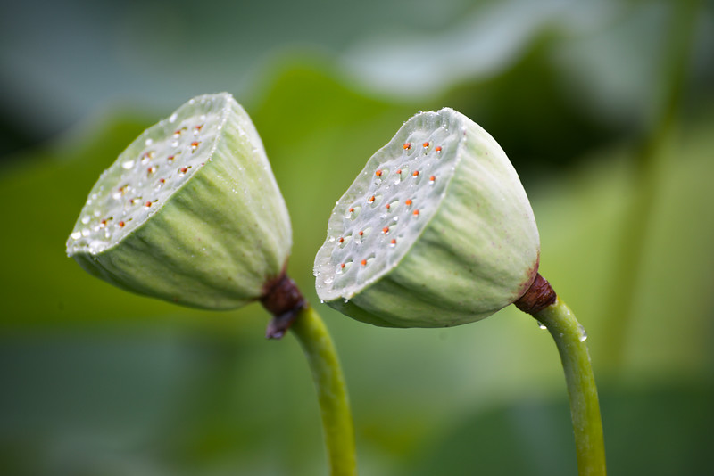 Water Lily Heads