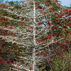 Mountain Ash and Tree