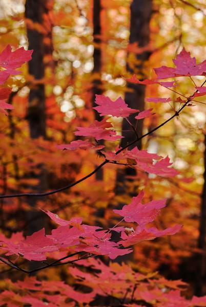 Fall Maples in Sedona