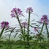 Cleone Flowers