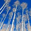 Winter Aspen Trunks