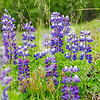 Broadleaf Lupine