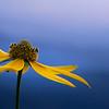 Blue Ridge Flower