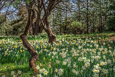 Daffodil Hill Gardens