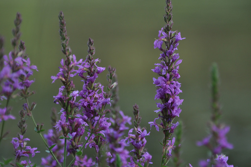 Purple Loosestrife near a pond in New York