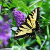 Swallowtail butterfly in New York.