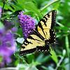 Swallowtail butterfly in New York.