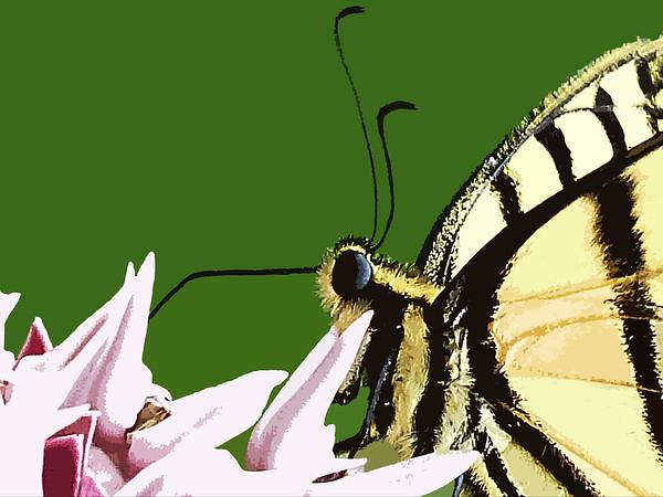 Swallowtail on Milkweed Profile