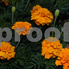 Flock of tagetes in July