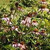 Monarch butterfly on coneflower field-5373