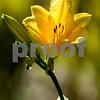 Second  photo of a four-o'clock blossom -2889