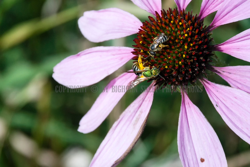 Busy insects on a coneflower