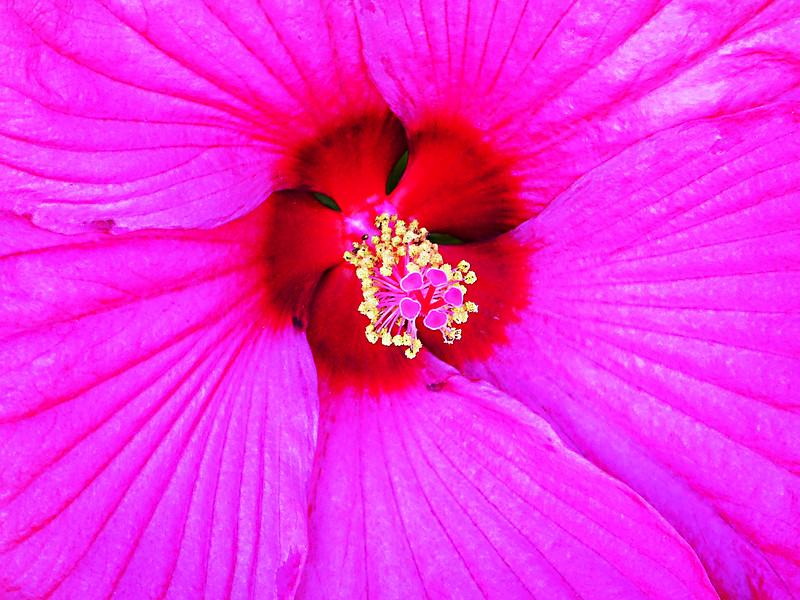 Pink Hybiscus Center