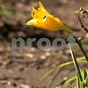 First photo of a four-o'clock blossom -34