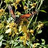 Busy monarch