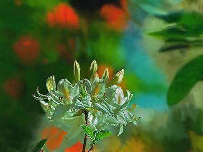 13  White Azalea- 1st K25