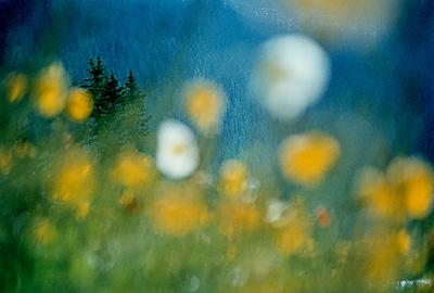 Flowers at Lake Louise 1970