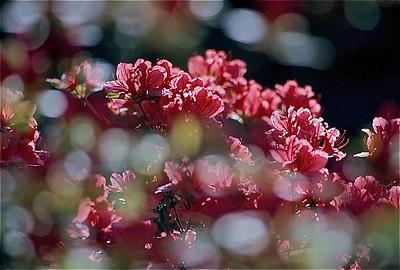 12  Pink Azaleas