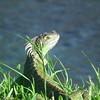 Iquana lizard